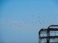 Birds over West Pier